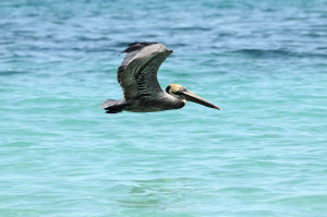 pelican over sea